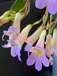 Primulina 'Nimbus'