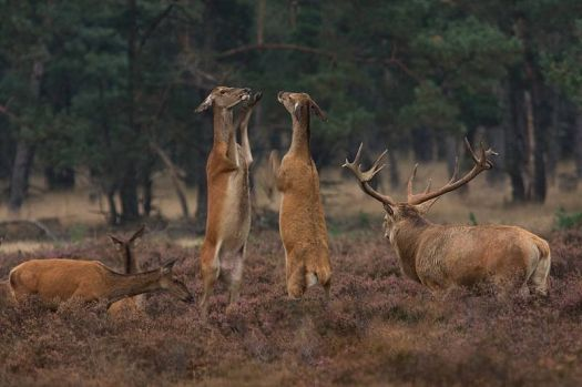 Edelherten~Red Deer