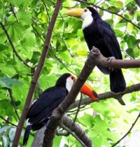San Diego Zoo - Toucans - Mom & Baby