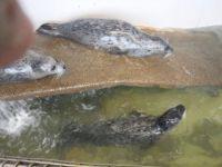 Seals at the Seaside, Oregon Aquarium