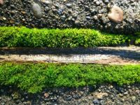 Moss in sidewalk cracks Oregon