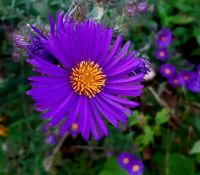 The asters