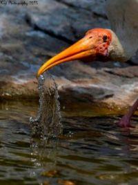 Painted Stork by Yogi Badri
