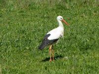 Limping stork, Vondelpark, Amsterdam