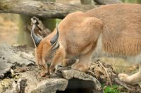 Caracal Cat at Toronto Zoo Ontario Canada