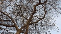 tree spread across the sky