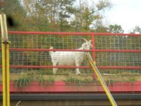 Goat on the Rood