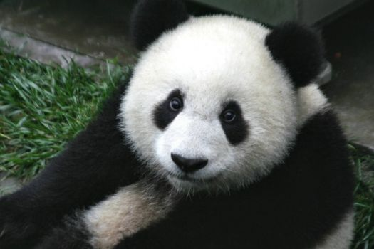 Giant Panda: Too Cute for Words