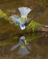 Zrcadlení sýkorky_Titmouse mirroring