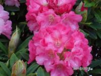 Different Pink Rhodo