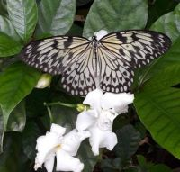 Butterfly and White Flowers