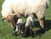 ewe and newborn lambs