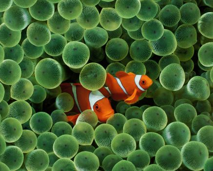 Clown Fish in Green Anemone Polyps
