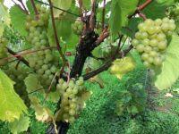 Elisabeth grapes