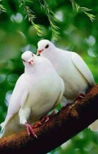 White Turtle Doves
