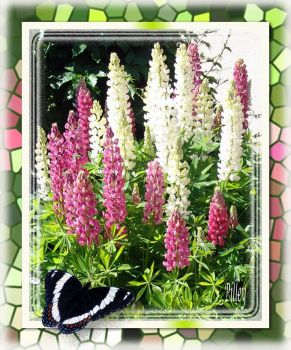PINK AND WHITE LUPINE