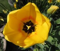 First blooming yellow tulip in the back garden....
