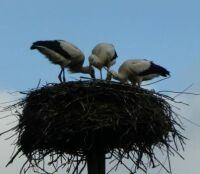 Vondelpark storks update #4