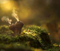 mushroom-photography-302__880.jpg Puff Balls spraying cold yellow powder