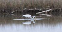 egret white