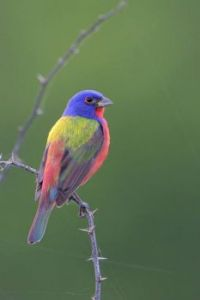 Painted Bunting by Greg Lavaty