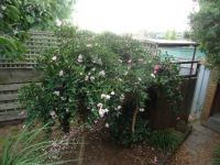 The two camellia bushes