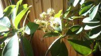 Schefflera arboricola - blooming