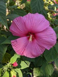 Hibiscus 🌺