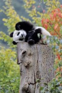 Cute little panda!