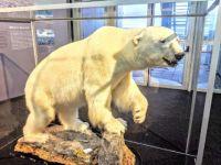 Polar Bear in Perlan Museum, Reykajvik, Iceland, Sep 2019