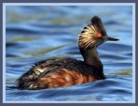 Black-necked grebe or eared grebe