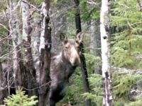 Moose in Straton Maine