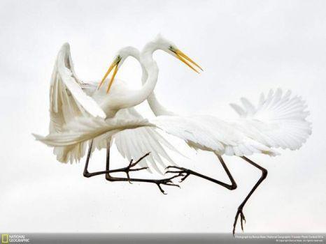 nayureGreat-white-Egrets-1024x768