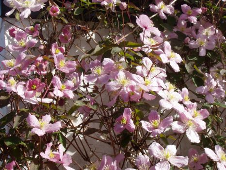 Clematis in the sun