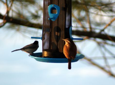 Carolina Chickadee and Carolina Wren