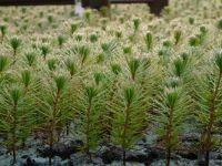 small pine plant