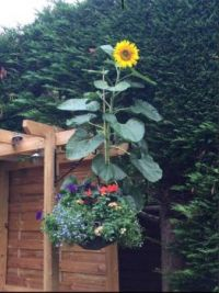 Sunflower In Hanging Basket