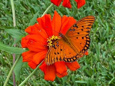 Fritillary Butterfly on Zinia