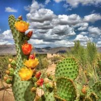 Beautiful Prickly pear cactus!