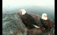 Wray and Superman on their nest at Westend Catalina/California