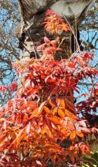 Sun-lit Japanese Maple on Palm