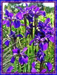 Blue Iris around the pond.
