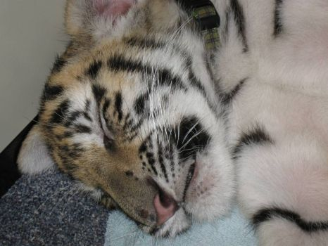 Sleeping baby tiger at work