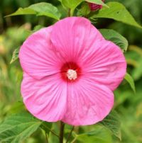 Hibiscus moscheutos 'Southern Belle'