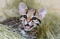 Baby ocelot saying hey look at me!