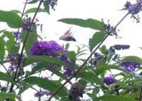 Hummingbird hawk-moth on our buddleia
