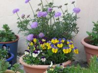 Scabious and violas