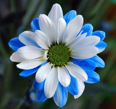 blue and white Chrysanthemum