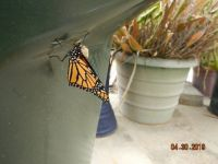 New monarch next to empty chrysalis