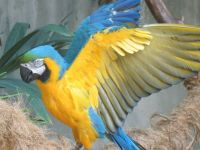 Blue and gold macaw showing off those glorious colours for you.